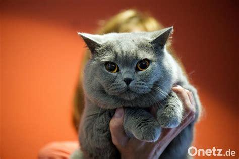 das sind die beliebtesten katzenrassen im netz onetz