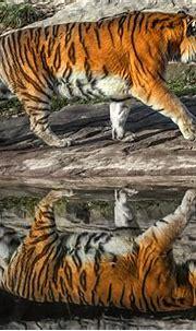 Tiger reflection | Chris Frank | Flickr