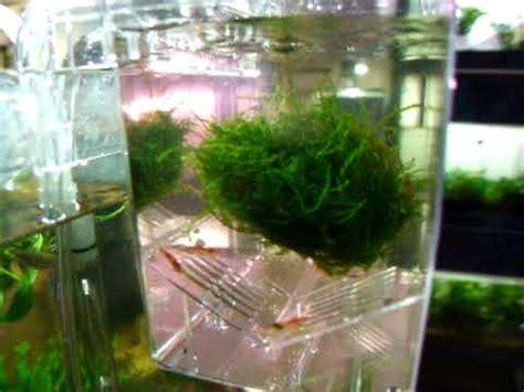 aquarium changement d eau aquarium pondoir avec changement d eau automatique crevette betta vivipare