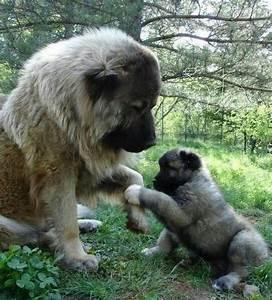 Best 25+ Russian bear dog ideas on Pinterest   Caucasian ...