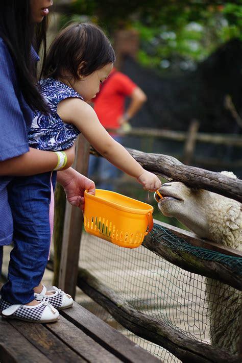 Hal yang mutlak diperlukan dalam beternak perkutut adalah kandang. Main Seru Bareng Hewan Ternak Di Lactasari Farm Paris Van Java