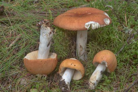 Copper brittlegill (Russula decolorans) - mushrooms of Russia