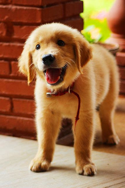 17 Best Images About Dogs On Pinterest Yellow Labrador