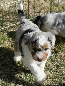 Best 25+ Australian shepherd poodle mix ideas on Pinterest ...