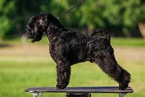 Standard, Schnauzer, Dog, Breed, U00bb, Everything, About, Standard