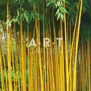 Gros Bambou Deco : plantez bambou tra ant phyllostachys aureosculata aureocaulis jardin ~ Teatrodelosmanantiales.com Idées de Décoration