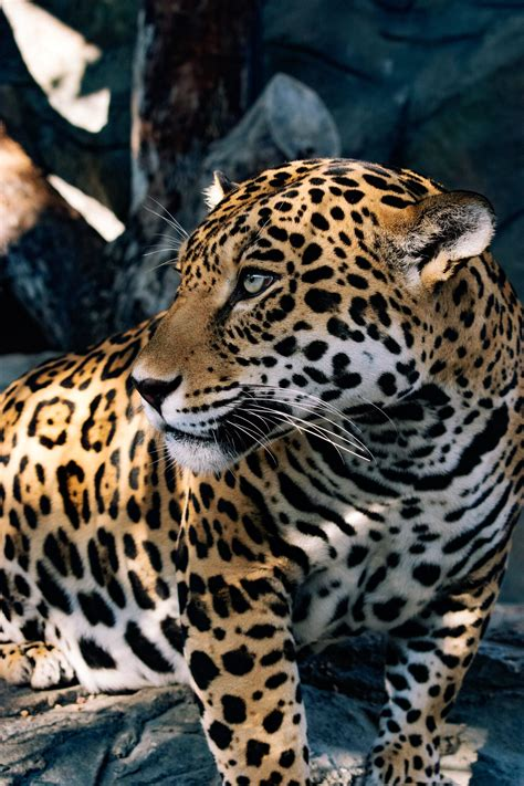 Jaguar - Animal World and Snake Farm
