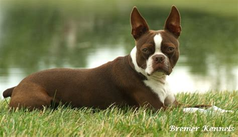 red fire boston terriers