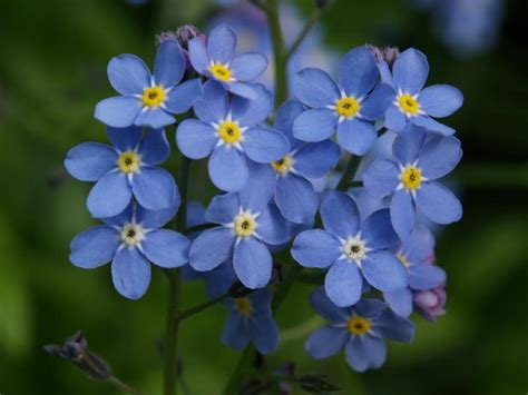 forget me nots forget me not flower
