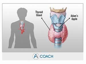 Adrenal Fatigue And Hypothyroidism