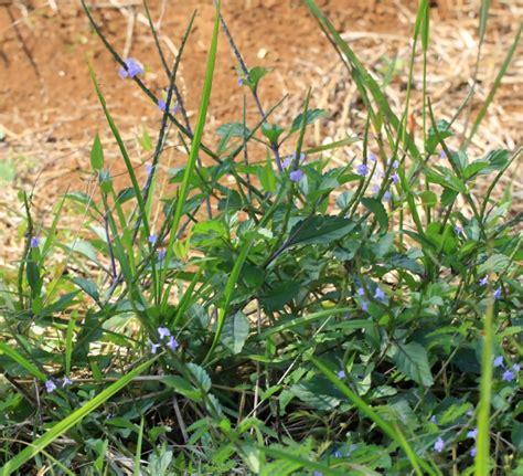 queue de rat cuisine queue de rat herbe à papillon epi bleu ou verveine bleue