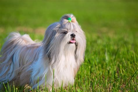 non shed family friendly dog breeds