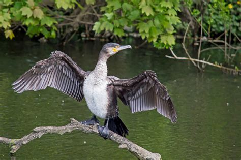 Great cormorant - song / call / voice / sound.