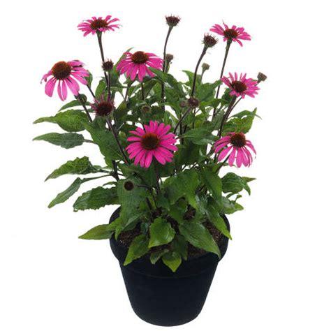 growing echinacea in pots echinacea mooodz 174 pot plants