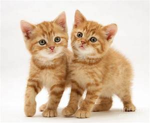 British Shorthair Red Tabby Kittens by Jane Burton