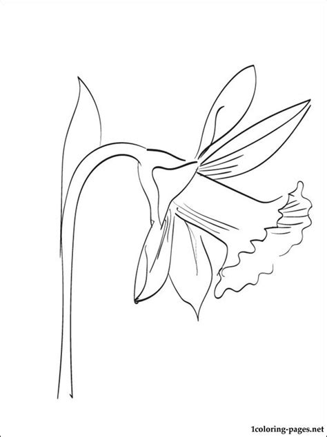 narcissus coloring  printable page coloring pages