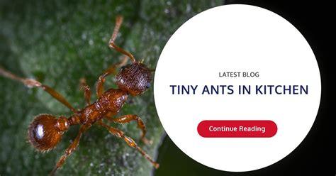 tiny ants  kitchen wil kil pest solutions