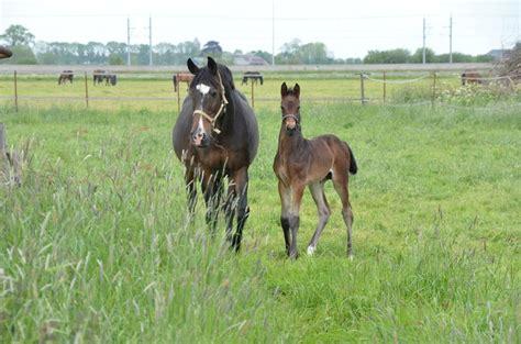 kwpn warmblood foal fragile syndrome horse dutch wffs