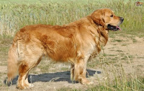 Golden Retriever Dog Breed Facts Highlights And Buying