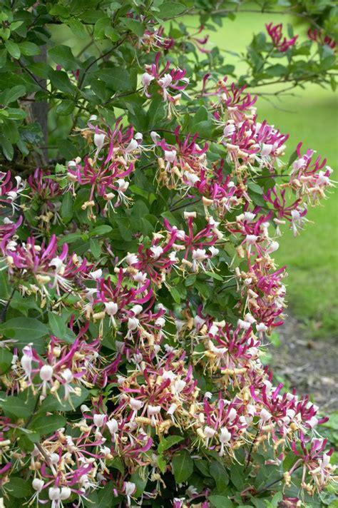 meditteranean plants 621 best bushes and shrubs images on pinterest shrubs bushes and shrubs and dwarf shrubs