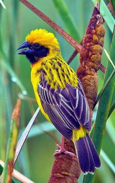 Our Amazing World Asian Golden Weaver