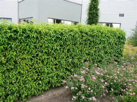 portugiesischer kirschlorbeer hecke portugiesischer kirschlorbeer angustifolia kirschlorbeer prunus immergr 252 ne