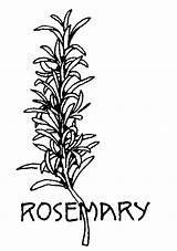 Herbs Coloring Pages Herb Printable Drawings Spices Medieval Flower Rosemary Line Plants Plant Drawing Embroidery Easy Class Clipart Duck Donald sketch template