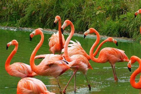 Kur flamingo dzīvo un ko tas ēd? - Putni - 2021