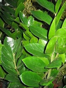 Schädlinge An Zimmerpflanzen : zimmerpflanzen ~ Orissabook.com Haus und Dekorationen