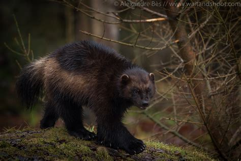 Wolverine Animal Wallpaper - wolverine animal wallpaper impremedia net
