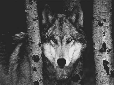 Black And White Wolf 11 Hd Wallpaper