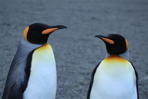 Filea Pair Of King Penguins (5849248976)jpg Wikimedia