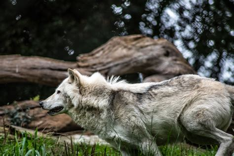grey  white wolf selective focus photography