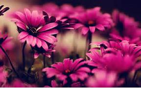 Pink Flowers Photograp...