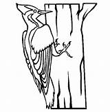Woodpecker Coloring Pages Animals Ivory Printable Billed Clipart Line Preschool Endangered Bird Drawing Drawings Thecolor Craft Animal Google Printcolorcraft Woodpeckers sketch template