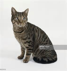 brown tabby cat brown mackerel tabby cat sitting stock photo getty images