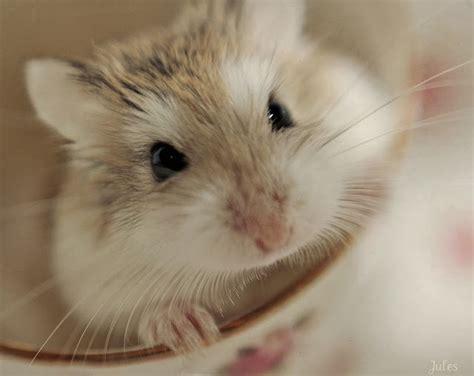 roborovski hamster roborovski hamster breeding roborovski hamster part 3 veterinary online