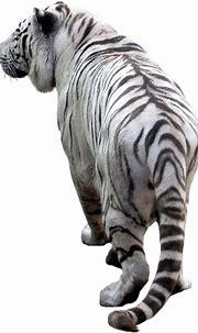 White Tiger Png Transparent - Animal White Tiger ...
