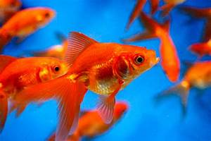 What You Must To Know About Keeping Goldfish