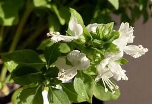 Pflanzen Für Raucher : basilikum ~ Markanthonyermac.com Haus und Dekorationen