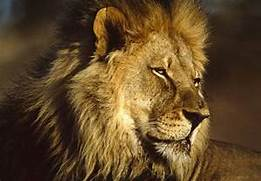 Lion HD Wallpapers Afr...