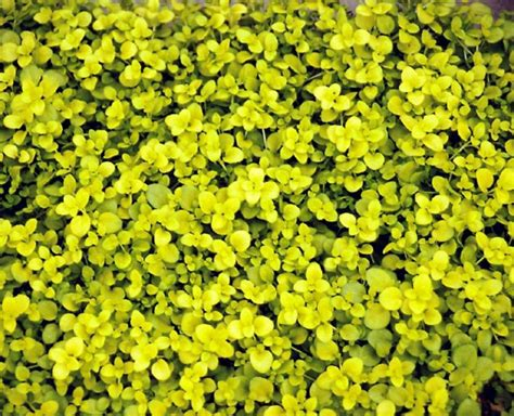 bodendecker gelb blühend 10 bodendecker pflanzen als alternative zur rasenfl 228 che
