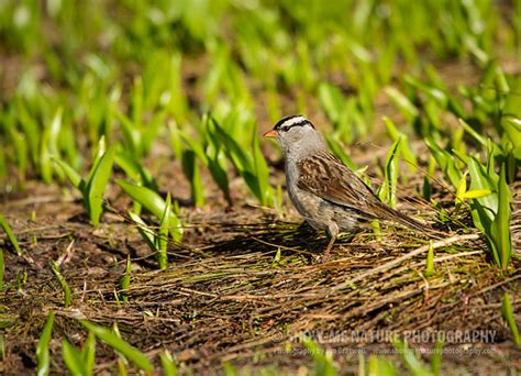 show me a picture of a sparrow white crowned sparrow show me nature photography