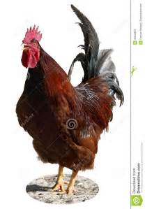 Red Rooster Crowing