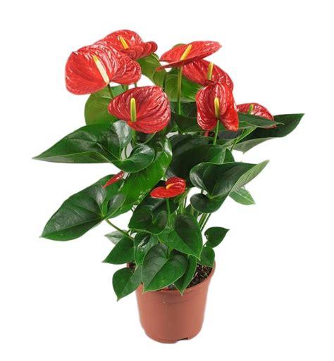 beautiful interior home anthurium winner florastore