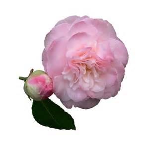 dessin de mariage illustration gratuite camelia fleur pétales de roses image gratuite sur pixabay 762209