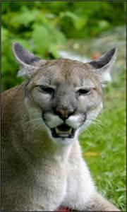 Basic Quotes Florida Panther Species Profile Everglades National