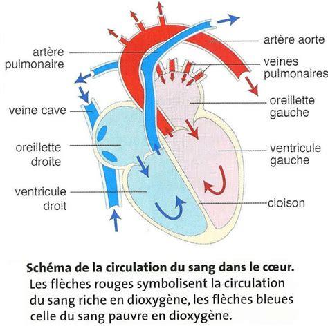 6 circulation du sang site de cours de coll 232 ge et lyc 233 e en svt