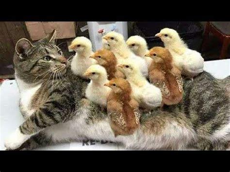 beste lustige katzen und hunde  versuche nicht zu