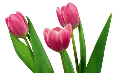 Tulip Picture Hd by Tulips Images Tulips Hd Wallpaper And Background Photos